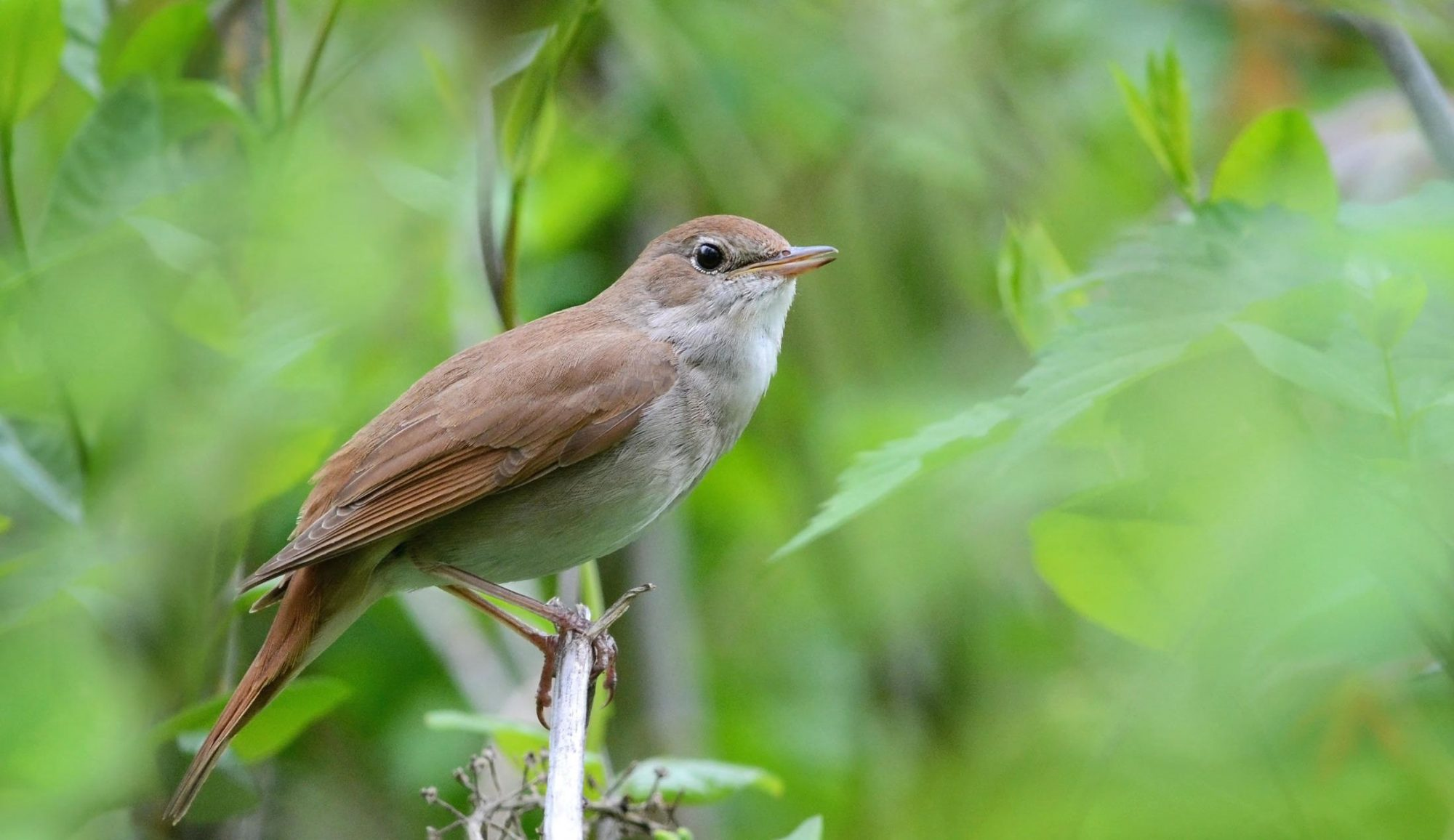 Common nightingale singing tour