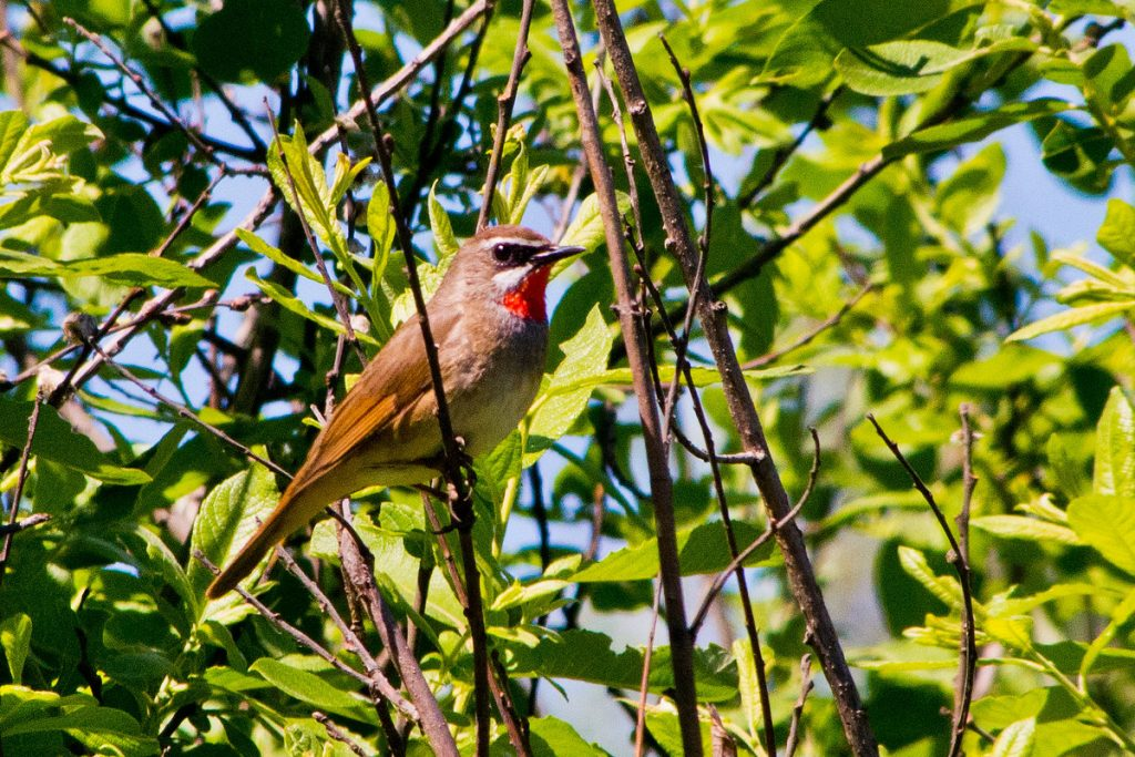 Common nightingale singing tour